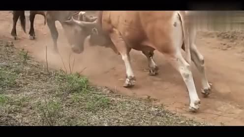 斗牛看斗牛还能锻炼身体,整座山都跑完了