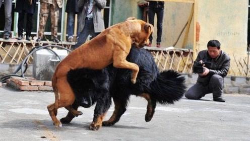 """中国的藏獒和美国的比特犬相比,哪个更""""牛""""?看完大快人心!"""