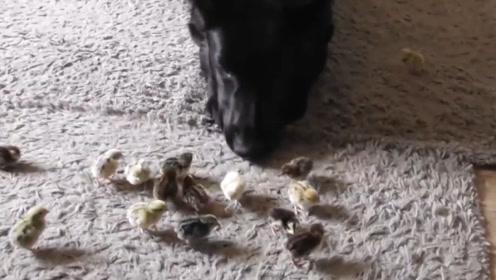 狗狗看到主人带回来一群小鸡仔,不禁感叹:又找回来一群小祖宗