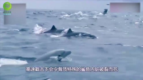 鲨鱼为什么从不招惹海豚?鲨鱼:我想,但是我不敢