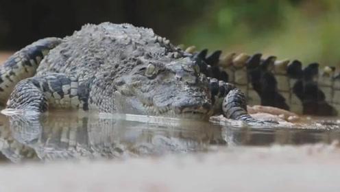 鳄鱼水中大战蟒蛇 最后获胜的那位真是让人太意外了!