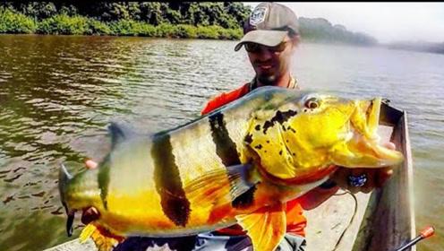 难以置信,在一个隐藏的湖里钓一只巨大的孔雀鲈鱼,真是棒极了