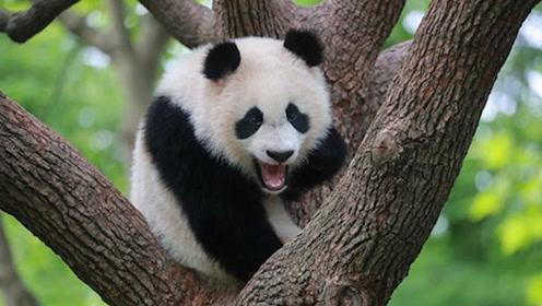 大熊猫不仅有黑眼圈,原来还是近视眼,你知道吗!