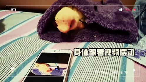 果然鹦鹉很聪明,竟然懂得看视频,关键是只喜欢看自己的视频