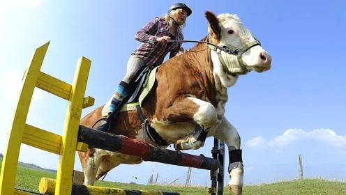 这头奶牛可以像马一样,跳过障碍