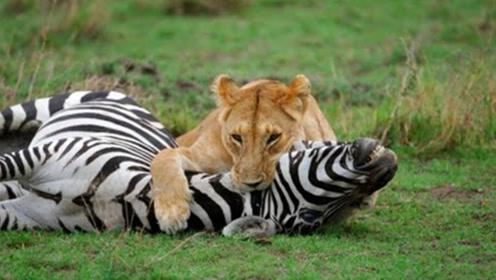 小霸王狮子捕猎斑马,不料意外发生了,镜头拍下全过程