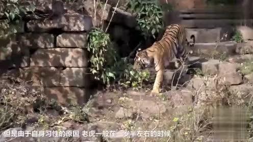 大猩猩给老虎当妈!头回见!