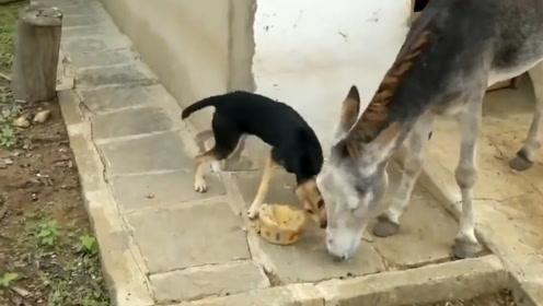 狗脾气vs驴脾气,各有狠招,谁才能独霸美食呢
