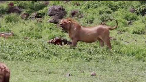 """鬣狗受伤独舔伤口,狮王""""再补一刀"""",鬣狗群竟扑上去分食"""