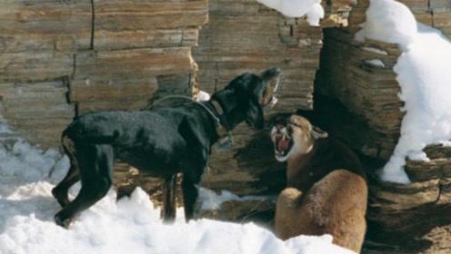 这两只狗个头不大,技能却杠杠的,能帮主人捉猎物