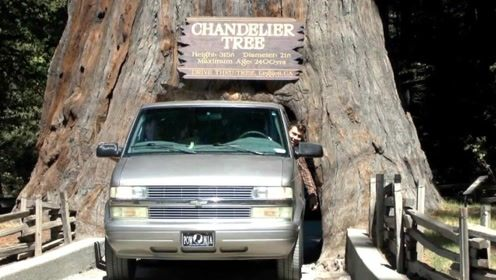 巨型大树被挖成隧道,可容一辆车通过,成热门景点