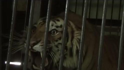 为何要派出多名猎手?吃掉四百多人是真是假,老虎真的会吃人吗