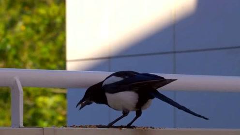 喜鹊别只顾着吃东西 也看看附近有没有危险