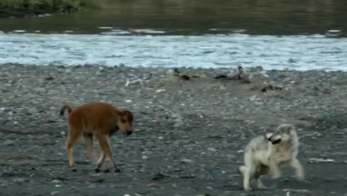 小牦牛被水冲到河滩下游,野狼想要将其捕食,结果却尴尬了