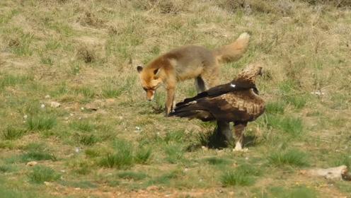 老鹰捕食狐狸,谁料狐狸嘴里有兔子,镜头拍下搞笑一幕!