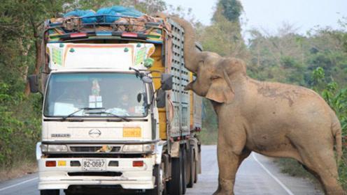 """霸气!泰国大象拦路""""抢劫""""甘蔗,司机很无奈,交通瘫痪2小时"""