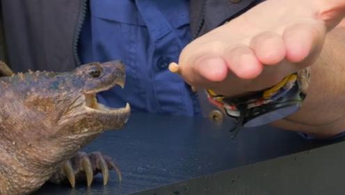 鳄龟的咬合力有多强,老外以身涉险,真是不作死就不会死