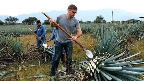 这种植物生长在墨西哥,近10年成熟一次,一个果实就重达百斤!