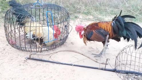 公鸡嘲笑同伴被关笼子,却不知自己落入陷阱,镜头拍下搞笑一幕!