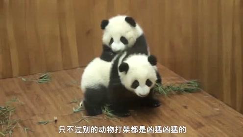 小熊猫打架,看这架势确定你们真的不是想萌死对方么