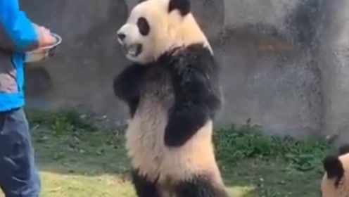 熊猫又调皮了,不给吃的就拿竹条恐吓人,熊猫:谁还不是个宝宝了