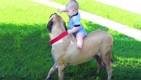 1岁宝宝趁妈妈不注意,偷偷把狗狗当马骑,下一秒憋住别笑!