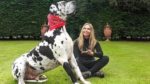 人不如狗!这只大狗2.3米实在太猛!美女为了它至今未婚!