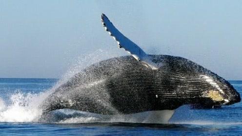 """为啥说""""巨鲸落,万物生""""?看完鲸鱼死亡过程,才知道它多伟大"""