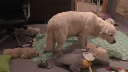 老外家8周大的小狗抢奶吃,有经验的狗妈一个动作就让它们老实了