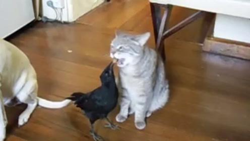 乌鸦为讨好猫咪和狗狗,主动给它们喂饭,网友:是个合格的狗腿子