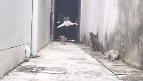 这只猫出门对上3只仇家猫,风骚走位堪比大魔王,就差没飞起来了
