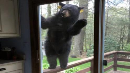 """这个""""罪犯""""有点萌,黑熊闯入了民宅,看到警察立刻破墙逃窜!"""