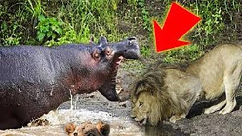 """狮子无聊挑衅河马,结果被河马一口""""爆头"""",镜头记录全过程!"""