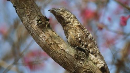 世界上最辛酸的鸟,为了躲避天敌伪装成树枝,一装就是一辈子!