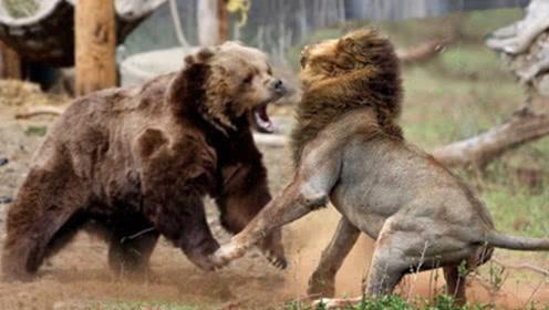 300斤黑熊误闯狮子领地,狮子大开杀戒,镜头拍下激战全程