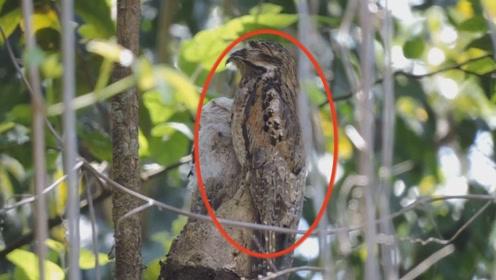 世界上最装的鸟,一出生就会伪装,被誉为动物世界的伪装大师