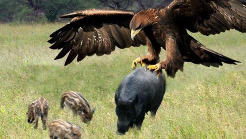 """老鹰""""瞬秒""""野猪,7厘米鹰爪直插猪头,镜头记录惨烈过程!"""