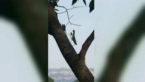小学课本上的螳螂捕蝉
