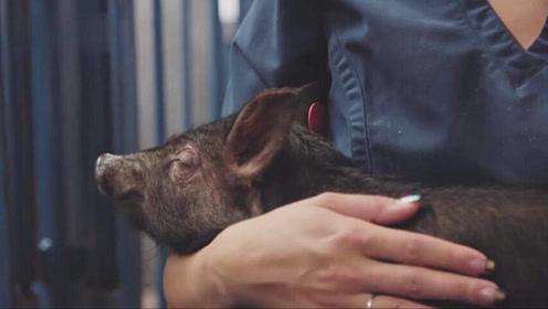英专家:3年内猪心脏经基因编辑可移植到人体