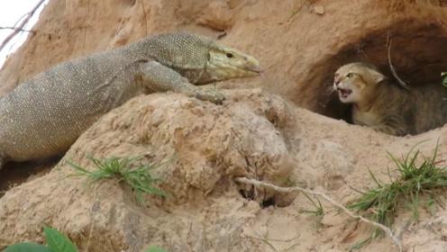 科莫多巨蜥堵在猫咪洞口,猫妈看后奋力抵抗,结局让人意外!