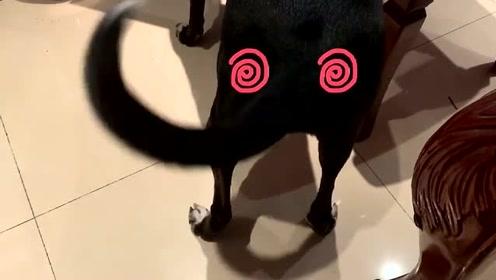 萌宠 这个视频土狗就一个动作,却能让你看上一个小时!