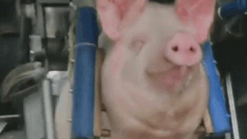 """实拍流水线杀猪,面带微笑走得安详,成功""""飞升""""为二师兄"""