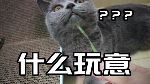 猫咪有时会吃草,种了点猫草给英短小短腿,不知道吃不吃