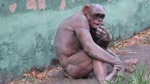 """""""无毛猩猩""""一夜爆红,女游客都无法直视!科学家称其会进化为人"""