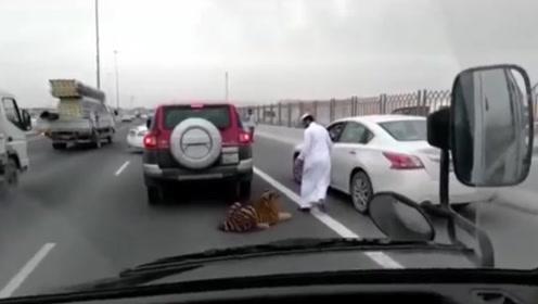 老虎突然出现在高速上,引发堵车,主人追上来:别闹了,我们回去