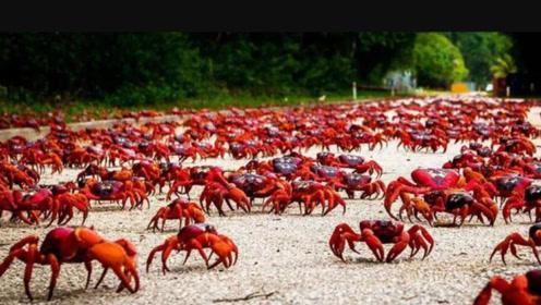 这座岛上的螃蟹太嚣张!政府派军24小时看守,一眼望去全是蟹红