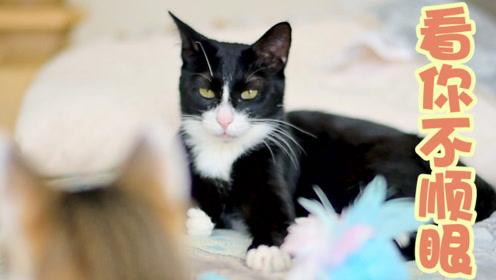 因为3角关系,让猫咪们开始冷战,铲屎官大呼受不了:太难协调了