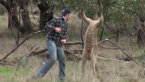 男子的狗被袋鼠欺负,冲上去就是一拳,袋鼠的反应笑翻众人