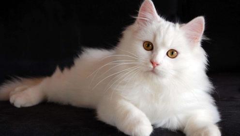 沙雕猫猫做出如此举动!吓得主人掉头就跑!沙雕猫咪日常卖萌!