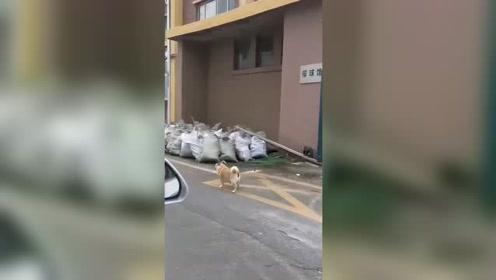 一条顺拐的狗子,不知道军训能矫正吗?
